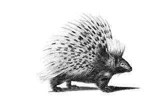 porcupine_med_px